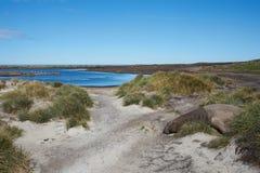 Elephant Seal - Falkland Islands Stock Photo