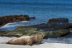 Elephant Seal - Falkland Islands Royalty Free Stock Images