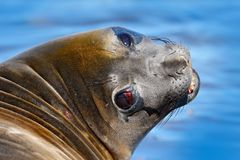 Elephant seal from Falkland islands with open muzzle and big dark eyes, dark blue sea in background. Detail close-up portrait. Wil Stock Photography
