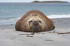 Elephant Seal - Falkland Islands. Southern Elephant Seal (Mirounga leonina) on a sandy beach on Sealion Island in the Falkland Islands Royalty Free Stock Photos