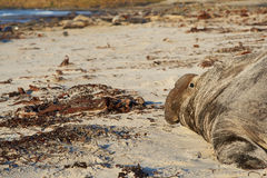 Elephant Seal - Falkland Islands Stock Image
