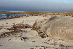 Elephant Seal - Falkland Islands Royalty Free Stock Photography