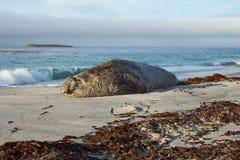 Elephant Seal - Falkland Islands Royalty Free Stock Images