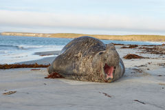 Elephant Seal - Falkland Islands. Southern Elephant Seal (Mirounga leonina) on a sandy beach on Sealion Island in the Falkland Islands Stock Photography