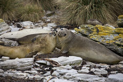 Elephant Seal - Falklands. Elephant Seal on Carcass Island in the Falkland Islands stock photography