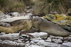 Elephant Seal - Falklands. Elephant Seal on Carcass Island in the Falkland Islands Stock Photography