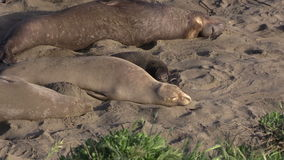 Elephant Seal Females and Calf stock video footage