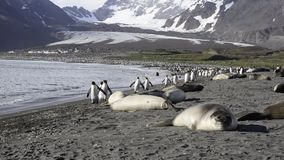Elephant Seal fight stock footage