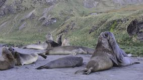 Elephant Seal fight stock video footage