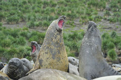 Elephant Seal fight Stock Photography