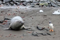 Elephant Seal and Gentoo Penguin, Antarctica Royalty Free Stock Images
