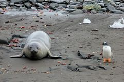Elephant Seal and Gentoo Penguin, Antarctica Royalty Free Stock Photography