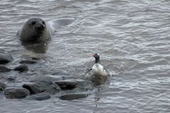 Elephant Seal and Gentoo Penguin, Antarctica Stock Photography