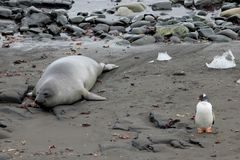 Elephant Seal and Gentoo Penguin, Antarctica. Elephant Seal and Gentoo Penguin, Antarctic Peninsula Antarctica Royalty Free Stock Images