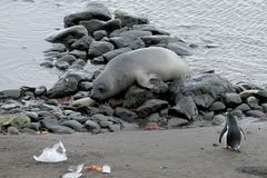 Elephant Seal and Gentoo Penguin, Antarctica. Elephant Seal and Gentoo Penguin, Antarctic Peninsula Antarctica Stock Photo