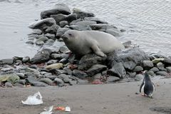 Elephant Seal and Gentoo Penguin, Antarctica Stock Photo