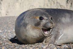 Elephant Seal grumpy. Grumpy Sea Elephant close up at Punta Ninfas Stock Images