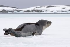 Elephant seal on ice. Elephant seal resting on ice Stock Images