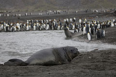Elephant seal with king penguin colony Royalty Free Stock Images