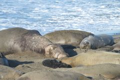 Elephant seals resting on a beach. Elephant seal laying on a beach in California, napping in the mid day sunshine. Elephant seals take their name from the large Stock Photo