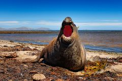 Elephant seal lying in water pond, dark blue sky, Falkland Islands. Wildlife scene from nature. Animal behaviour in habitat. Coast Royalty Free Stock Photos