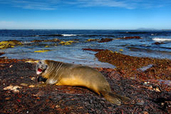 Elephant seal lying in water pond, sea and dark blue sky, animal in the nature coast habitat, Falkland Islands Stock Images