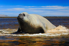 Elephant seal lying in water pond, sea and dark blue sky, animal in the nature coast habitat, Falkland Islands. Elephant seal in t Stock Photos