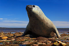 Elephant seal lying in water pond, sea and dark blue sky, animal in the nature coast habitat, Falkland Islands. Elephant seal in. The water stock images