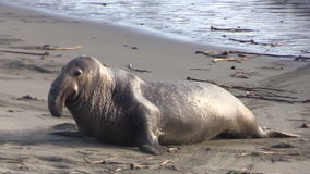 Elephant Seal Male stock footage