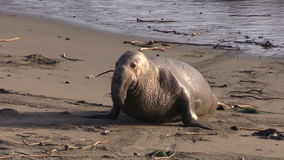 Elephant Seal Male on Beach stock video footage