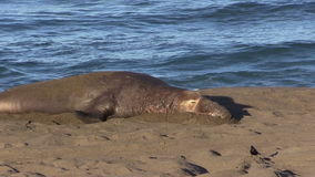 Elephant Seal Male on the Beach stock video footage