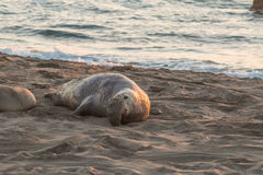 Elephant Seal Male on the Beach Stock Photography