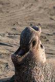 Elephant Seal Male Close Up Stock Photo