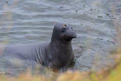Elephant Seal - (Mirounga angustirostris) Stock Photo