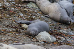 Elephant Seal - (Mirounga angustirostris) Royalty Free Stock Photo