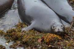 Elephant Seal - (Mirounga angustirostris) Stock Image