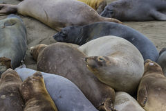 Elephant Seal - (Mirounga angustirostris) Royalty Free Stock Photos