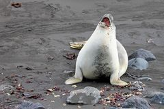 Elephant Seal, Mirounga Leonina, Antarctica Royalty Free Stock Photo