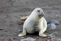 Elephant Seal, Mirounga Leonina, Antarctica Royalty Free Stock Photos