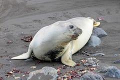 Elephant Seal, Mirounga Leonina, Antarctica. Elephant Seal, Mirounga Leonina, Antarctic Peninsula Antarctica Royalty Free Stock Image