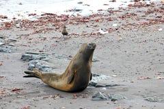 Elephant Seal, Mirounga Leonina, Antarctica. Elephant Seal, Mirounga Leonina, Antarctic Peninsula Antarctica Royalty Free Stock Photography