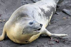 Elephant Seal, Mirounga Leonina, Antarctica. Elephant Seal, Mirounga Leonina, Antarctic Peninsula Antarctica Royalty Free Stock Images