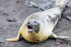 Elephant Seal, Mirounga Leonina, Antarctica. Elephant Seal, Mirounga Leonina, Antarctic Peninsula Antarctica Stock Photos