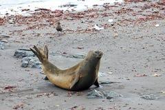 Elephant Seal, Mirounga Leonina, Antarctica. Elephant Seal, Mirounga Leonina, Antarctic Peninsula Antarctica Stock Image