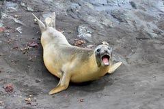 Elephant Seal, Mirounga Leonina, Antarctica. Elephant Seal, Mirounga Leonina, Antarctic Peninsula Antarctica Stock Photo