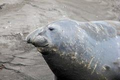 Elephant Seal, Mirounga Leonina, Antarctica. Elephant Seal, Mirounga Leonina, Antarctic Peninsula Antarctica Stock Images