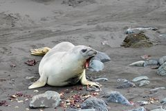 Elephant Seal, Mirounga Leonina, Antarctica Stock Photo