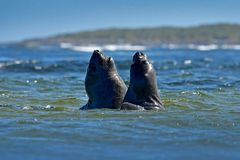 Elephant seal, Mirounga leonina, fight in blue ocean waves. Seal with rock in the background. Two big sea animal in the nature hab. Itat Stock Image