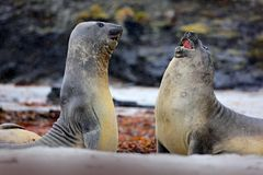 Elephant seal, Mirounga leonina, fight on the sand beach. Elephant seal with rock in the background. Two big sea animal in the nat. Ure habitat Stock Photography