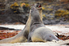 Elephant seal, Mirounga leonina, fight on the sand beach. Elephant seal with rock in the background. Two big sea animal in the nat Stock Images